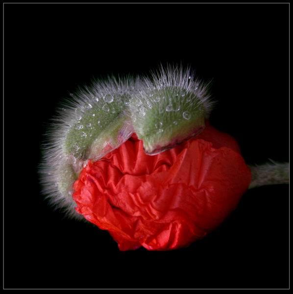 Florile Grażynei Myślińska (II)