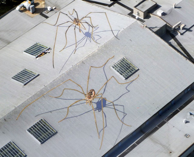 Enormous Daddy Long-Legs Overtake the Seattle Center Armory