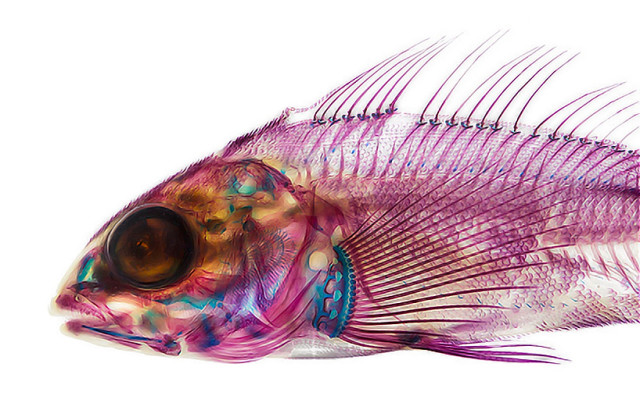 Photos of Fish That Have Been Dyed and Treated to Reveal Their Skeletons