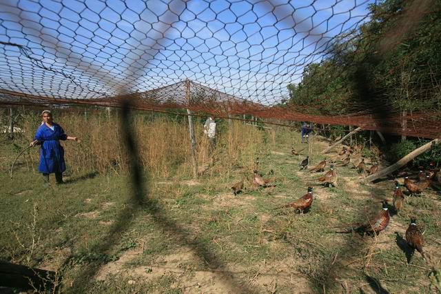 ghimpati - crescatoria fazani - foto lucian muntean  02