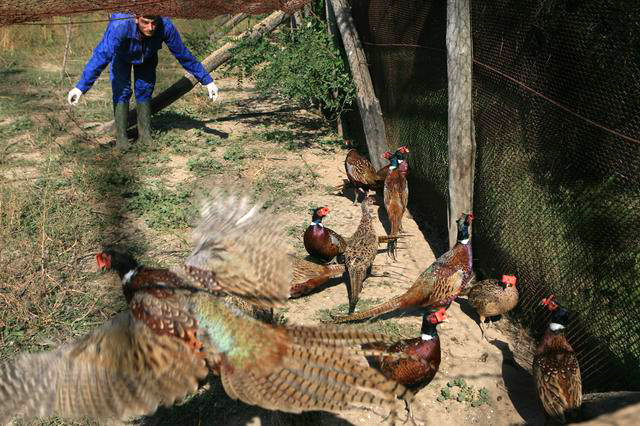 ghimpati - crescatoria fazani - foto lucian muntean  03