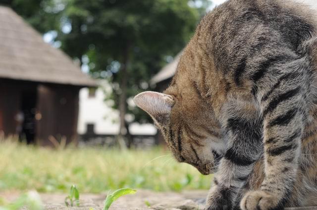 pisica - muzeul satului - foto lucian muntean _02