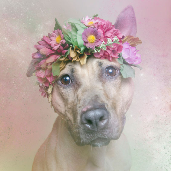 Fairy-Tale Inspired Photos Of Pit Bulls In Flower Crowns Go Against Stereotype
